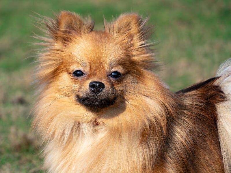 Perro de Pomerania pelirrojo en el fondo de la hierba fotos de archivo libres de regalías