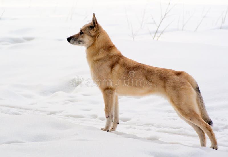 Perro de Pomerania-perro finlandés imagen de archivo