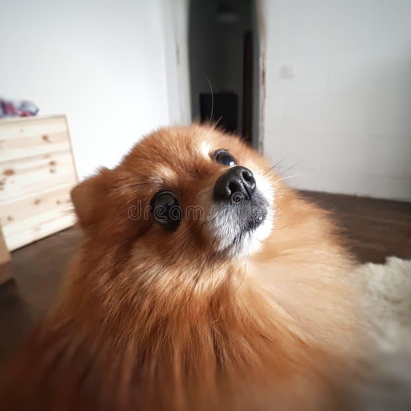 Perro de Pomerania pomeranian imagen de archivo