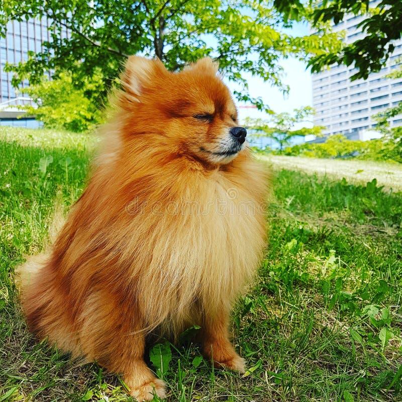 Perro de Pomerania pomeranian fotografía de archivo libre de regalías