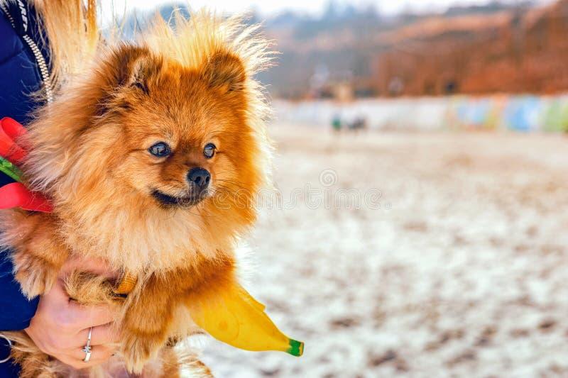 Perro de Pomerania que se sienta en sus manos en la playa y que mira lejos foto de archivo libre de regalías