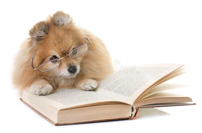 Perro de Pomerania y libros de Pomeranian fotografía de archivo libre de regalías