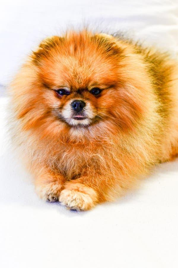 Perro de Pomeranian imagenes de archivo