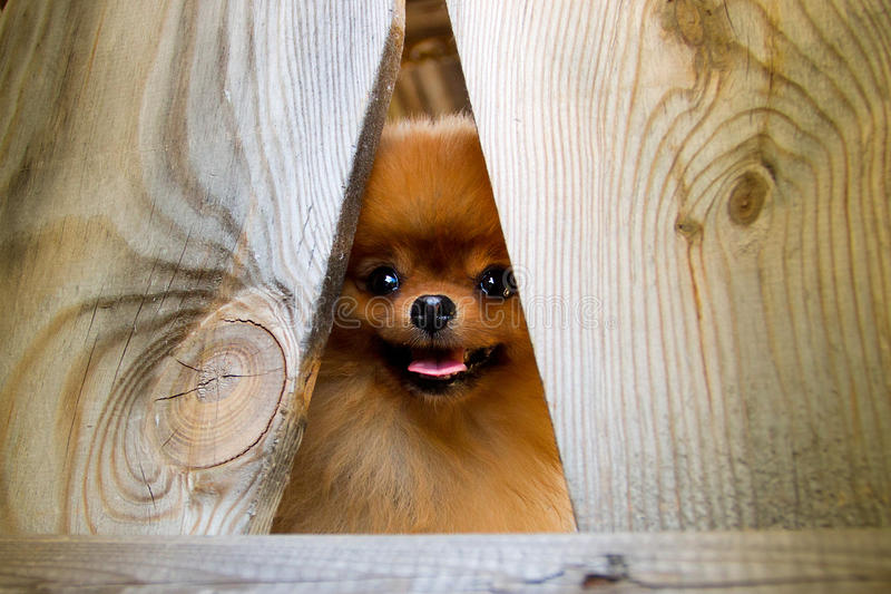 Perro de Pomeranian imágenes de archivo libres de regalías