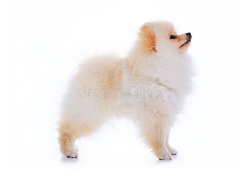 Perro de Pomeranian en el fondo blanco imagen de archivo libre de regalías
