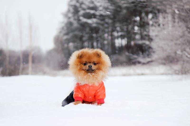 Perro de Pomeranian en nieve Perro del invierno Perro en nieve Perro de Pomerania en bosque del invierno foto de archivo