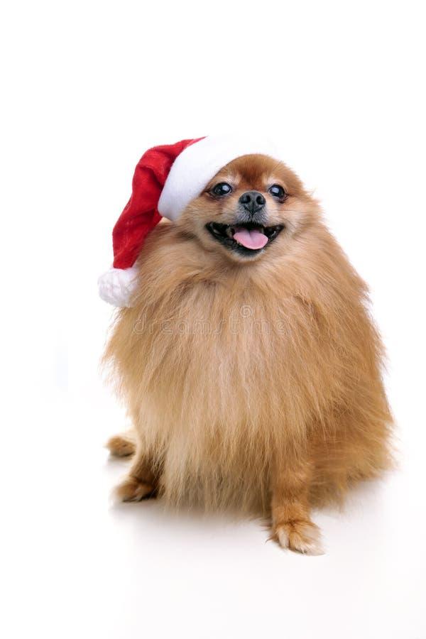 Perro de Pomeranian en un sombrero del símbolo de Santa Claus del Año Nuevo 2 imagen de archivo