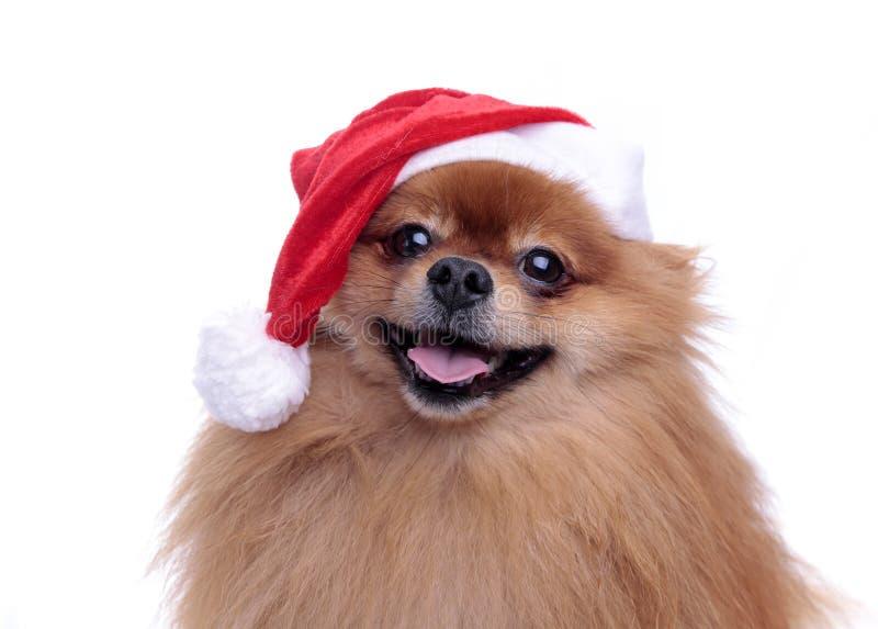 Perro de Pomeranian en un sombrero del símbolo de Santa Claus del Año Nuevo 2 imágenes de archivo libres de regalías