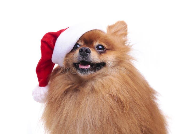 Perro de Pomeranian en un sombrero del símbolo de Santa Claus del Año Nuevo 2 imagenes de archivo