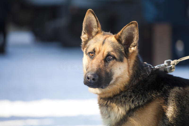 Perro de protector imagen de archivo libre de regalías