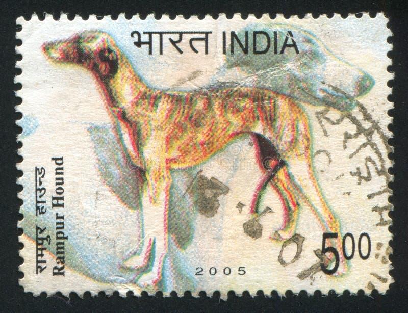 Perro de Rampur del perro foto de archivo