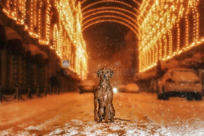 Perro de Rhodesian Ridgeback en la ciudad de la noche fotos de archivo
