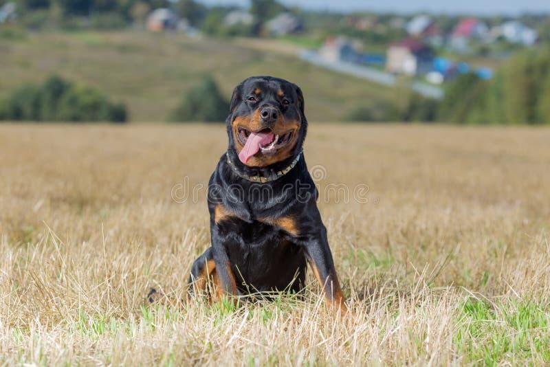 Perro de Rottweiler en campo de hierba del fondo natural fotos de archivo libres de regalías