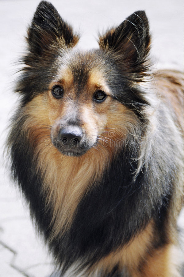 Perro de Sheltie foto de archivo