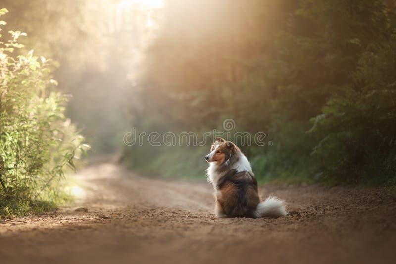 Perro de Sheltie que se sienta en el sendero foto de archivo libre de regalías