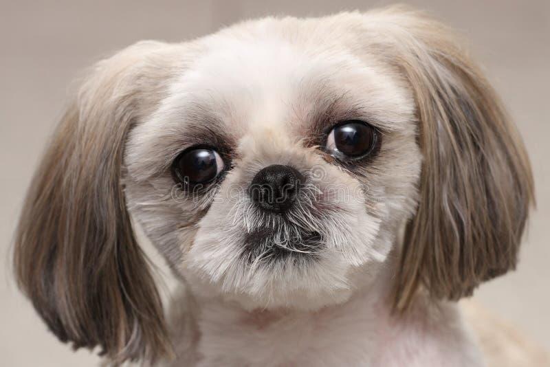 Perro de Shih Tzu imagen de archivo