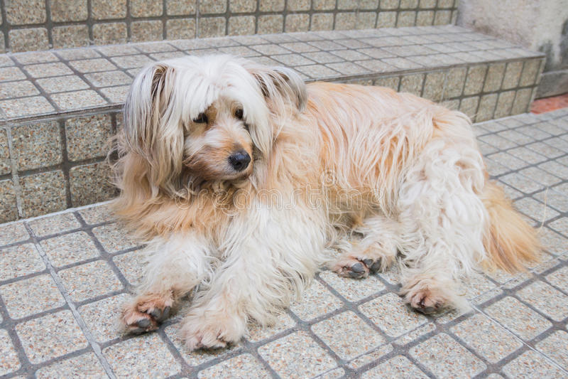 Perro de Shih Tzu en jardín imagenes de archivo