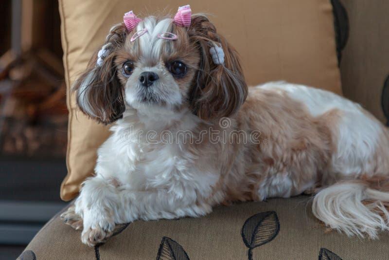 Perro de Shih Tzu que miente en una silla que mira directamente el perro lindo de la cámara fotos de archivo libres de regalías