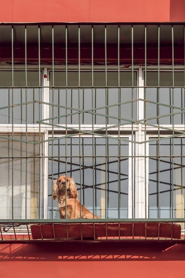 Perro de Spamniel del cocker delante de la ventana vieja del apartamento, Pekín, China foto de archivo libre de regalías