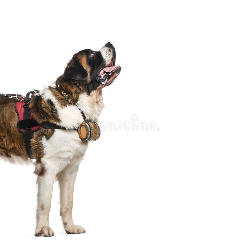Perro de St Bernard que mira para arriba con un barril (14 meses), isolat imagenes de archivo
