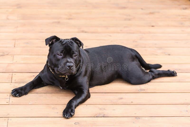 Perro de Staffordshire bull terrier que miente en decking de madera fotografía de archivo