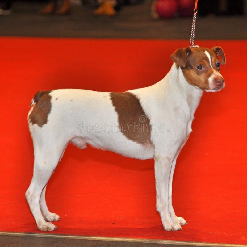 Perro de Terrier del japonés imagenes de archivo