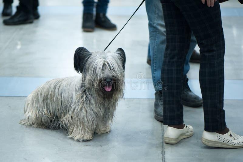 Perro de Terrier de mojón en la exposición canina, en un viaje fotografía de archivo libre de regalías