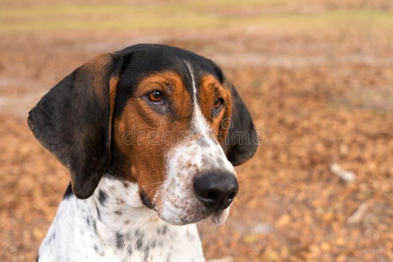 Perro de Treeing Walker Coonhound que mira adelante fotos de archivo