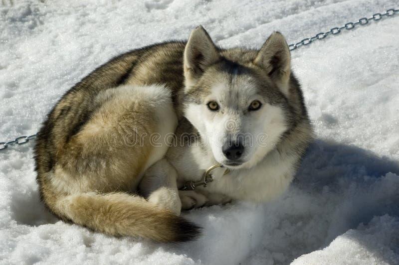 Perro de trineo imagen de archivo