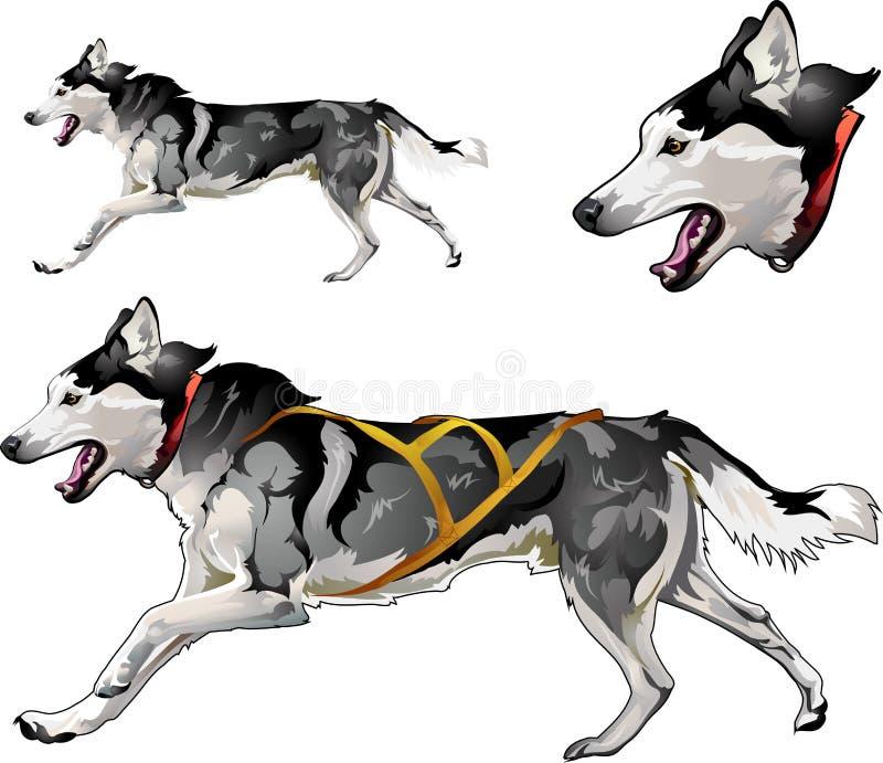 Perro de trineo corriente de la raza del husky siberiano foto de archivo
