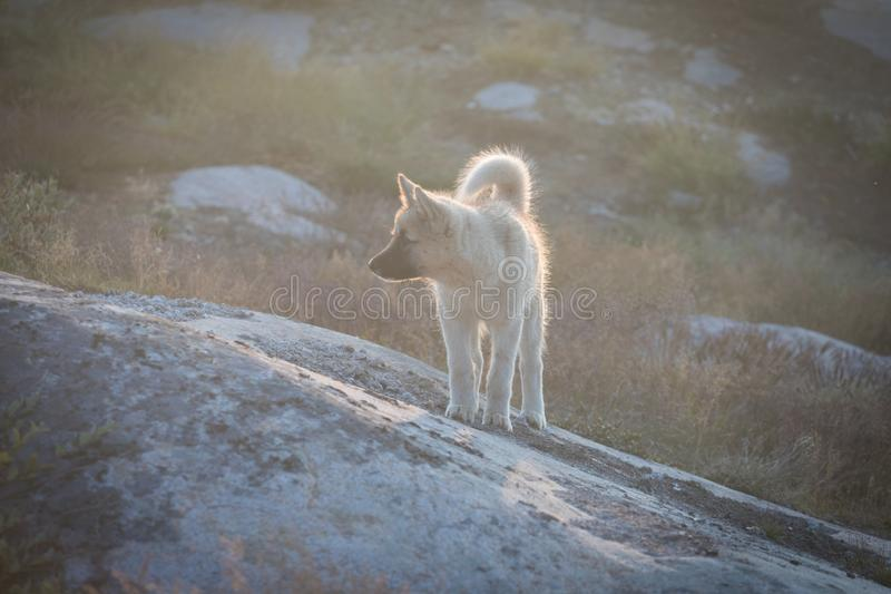 Perro de trineo hermoso de Groenlandia encendido con el contraluz del sol caliente del verano Ilulissat, Groenlandia Perrito del  foto de archivo libre de regalías