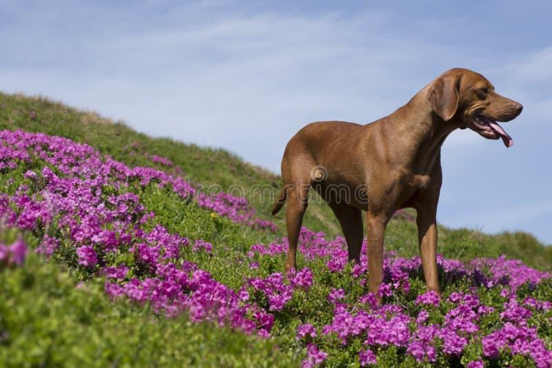 Perro de Vizsla en rhodies fotos de archivo libres de regalías