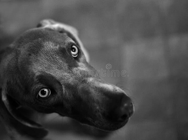 Perro de Weimaraner imagen de archivo