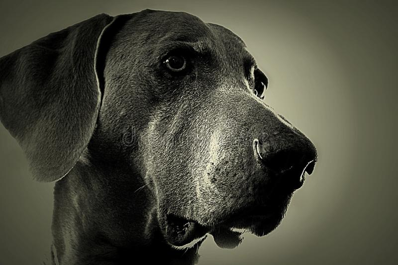 Perro de Weimaraner imagenes de archivo