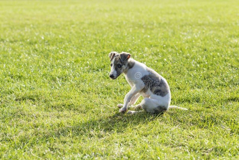Perro de Whitby imagen de archivo