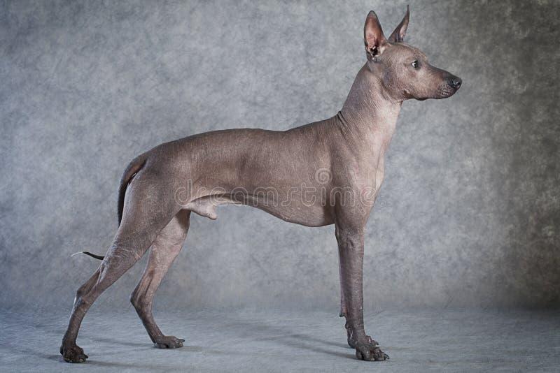 Perro de Xoloitzcuintle fotos de archivo libres de regalías