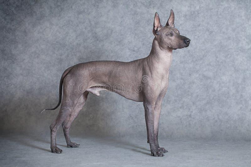 Perro de Xoloitzcuintle contra fondo gris imagen de archivo