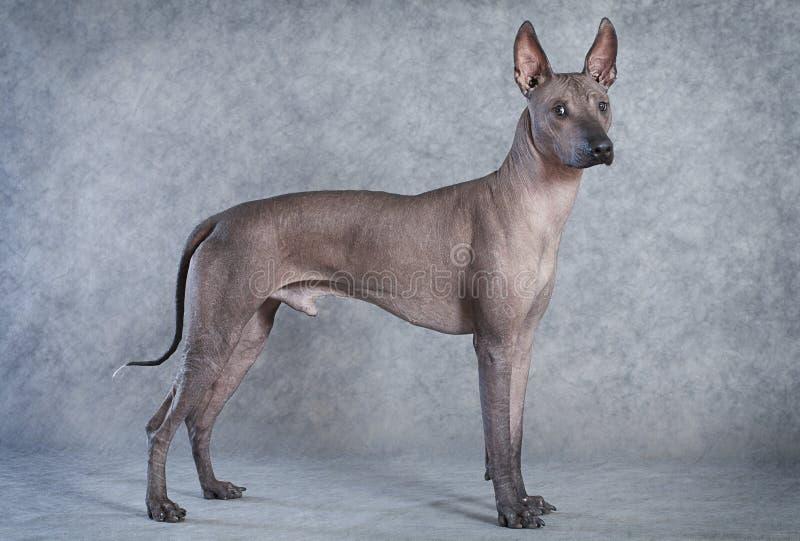 Perro de Xoloitzcuintle, dieciocho meses imagen de archivo libre de regalías