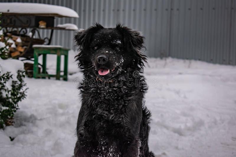 Perro de yarda negro, con el pelo lanudo, perro perdiguero Invierno, tiempo escarchado y mucha nieve blanca foto de archivo libre de regalías