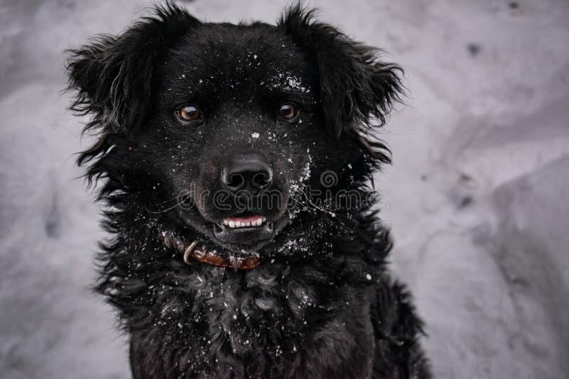 Perro de yarda negro, con el pelo lanudo, perro perdiguero Invierno, tiempo escarchado y mucha nieve blanca imagen de archivo libre de regalías
