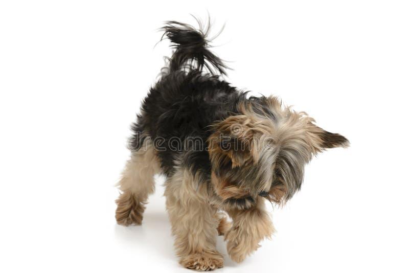 Perro de York en un sistema blanco del fondo fotografía de archivo libre de regalías