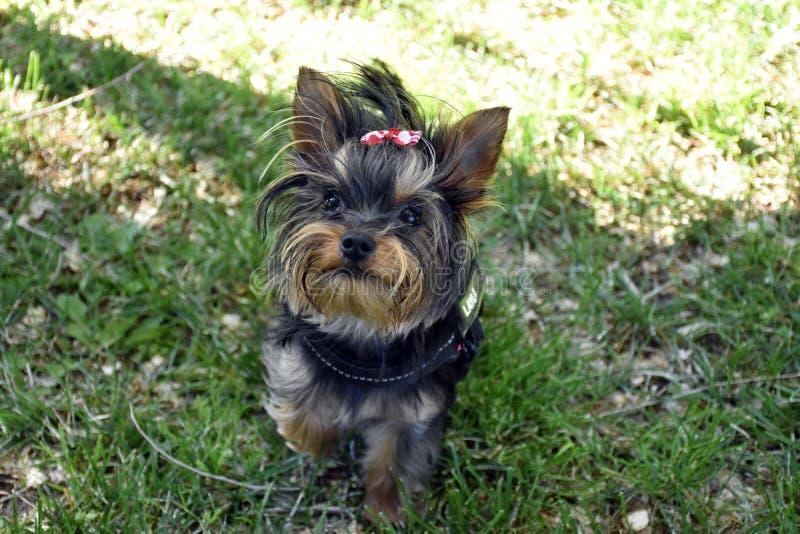 Perro de Yorkshire que juega en parque fotos de archivo