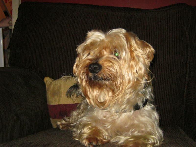 Perro de Yorkshire Terrier imagen de archivo libre de regalías