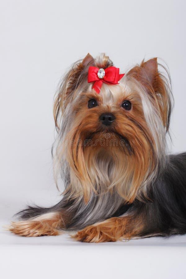 Perro decorativo hermoso Yorkshire Terrier fotos de archivo