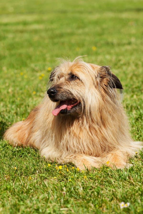 Perro del apso de Lhasa fotografía de archivo