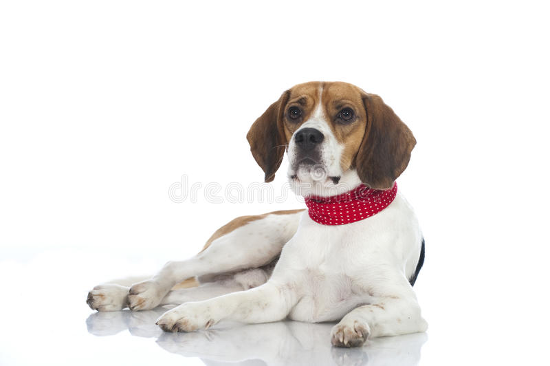 Perro del beagle fotos de archivo libres de regalías