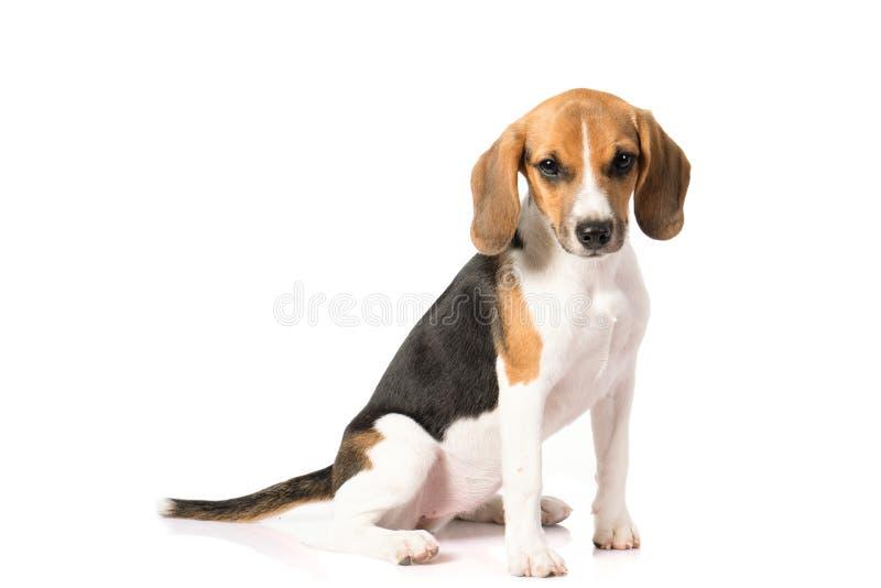 Perro del beagle aislado en blanco imagen de archivo libre de regalías