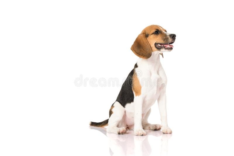 Perro del beagle aislado en blanco imagenes de archivo