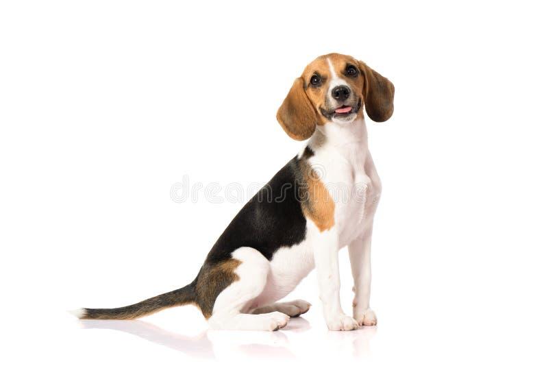 Perro del beagle aislado en blanco fotos de archivo