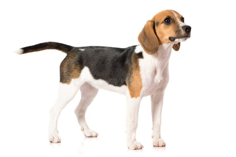 Perro del beagle aislado en blanco imágenes de archivo libres de regalías